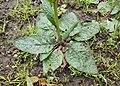 Verbascum phoeniceum kz04.jpg