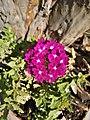 Verbena obsession cascade pink 163940 05.jpg