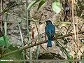 Verditer Flycatcher (Eumyias thalassinus) (36384699543).jpg
