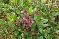 Veronica diosmifolia kz5.jpg