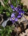 Veronicacopelandii1.jpg