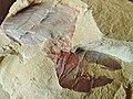 Vetulicola ウェツリコラ新種3.jpg
