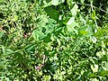 Vicia dumetorum sl15.jpg