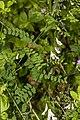 Vicia sylvatica 10.jpg