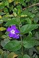 Vinca major (Blue Periwinkle) (24997416265).jpg