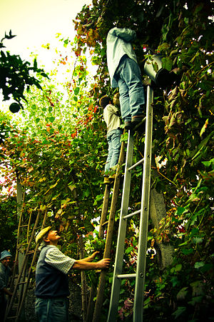 "Vinho Verde - Vinho Verde traditional harvest using ladders to pick grapes from vines trellised on high pergolas (""vinha de enforcado""), Guimarães, Portugal"