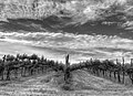 Vineyard - Albinea (RE) Italy - 15 Maggio 2011 - panoramio (1).jpg