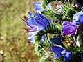 Viper's Bugloss (Echium vulgare) (24045551879).jpg