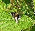 Volucella bombylans - Flickr - gailhampshire (3).jpg