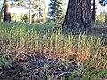 Vulpia octoflora (6243568311).jpg