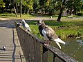 Włocławek-pigeons in Sienkiewicz Park.jpg