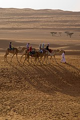 Tourists riding camels in the Wahiba Sands