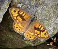 Wall Brown. Lasiommata megera (38732202685).jpg
