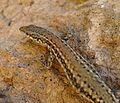 Wall Lizard. Podarsis muralis or P. vaucheri - Flickr - gailhampshire (1).jpg