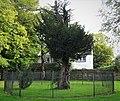 Wallace's Tree. A 300 year old Yew. Elderslie, Renfrewshire.jpg
