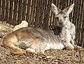 Wallaroo Female 001.jpg