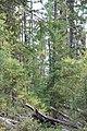 Wapta Falls Trail IMG 4991.JPG