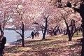 Washington - Pink Japanese Cherry Trees (4404969455).jpg