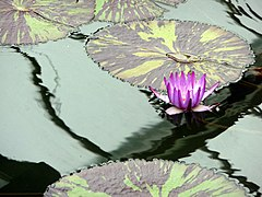 Water Lily, Princess of Wales Conservatory, Kew Gardens (geograph 2405837).jpg