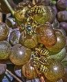 Wespen auf Trauben W.jpg