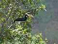Wg malabar pied hornbill male.jpg