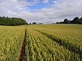Wheat, Brightwalton - geograph.org.uk - 891487.jpg
