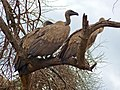 White-backed Vultures (Gyps africanus) (11755990905).jpg