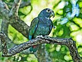 White-crowned Parrot SMTC.jpg