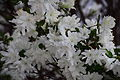 White-flowers-azalea-bloom-spring - West Virginia - ForestWander.jpg