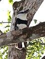 White-necked Puffbird.jpg