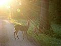 "White-tailed Deer (Odocoileus virginianus) - mother and fawn - ""Deer In Sunlights"" - Flickr - Jay Sturner.jpg"