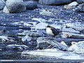 White-throated Dipper (Cinclus cinclus) (31073622864).jpg