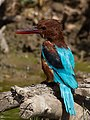 White-throated kingfisher from behind.jpg