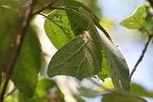 White Angled-Sulphur (Anteos clorinde).jpg