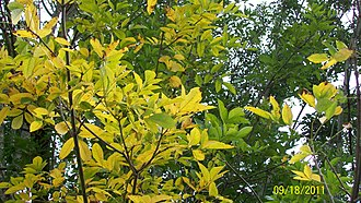 Fraxinus americana - Fall, Russell County, Virginia