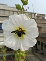 White Hollyhock Flower and Black Carpenter Bee.jpg