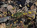 White Mountains mousetails, Ivesia lycopodioides var. scandularis (24048480354).jpg
