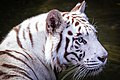 White Tiger, Singapore Zoo (36123848094).jpg