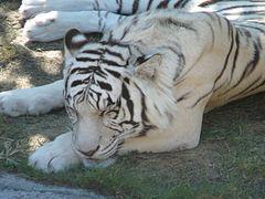 White tiger busch gardens 2.jpg