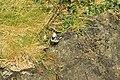 White wagtail (8016141563).jpg