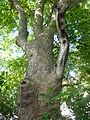 Wiener Naturdenkmal 95 2015-06-21 Bergahorn Wien19 Cobenzlgasse32 GordanaP d.JPG