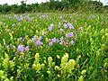Wild flowers in a nature reserve.JPG