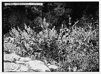 Wild flowers of Palestine. White sage (Salvia graveolens Vahl). LOC matpc.05852.jpg