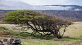 Windblown tree on the southside of Maui (8017264619).jpg