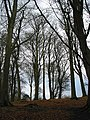Winter beeches atop Dinedor Camp - geograph.org.uk - 640570.jpg