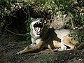 Wolf bei Eekholt.jpg