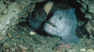 Wolf eel - A pair of wolf eel with eggs (pale yellowish)