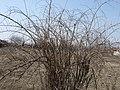 Wolfberry-lycium barbarum - panoramio.jpg