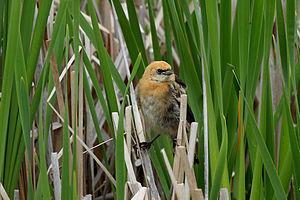 Yellow-headed blackbird - Juvenile