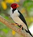 Yellow-billed Cardinal (Paroaria capitata) (31622783266).jpg